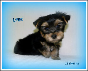 Adorable Male Yorkshire Terrier (Yorkie) puppies available!