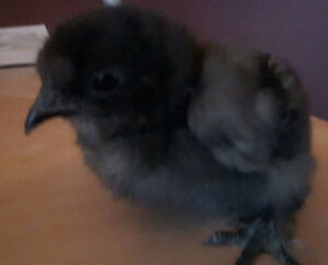 Silky chicks for sale
