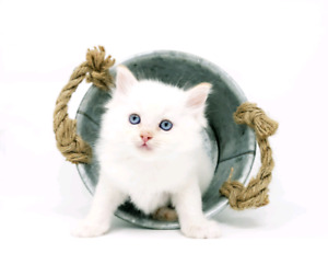Flame Lynx Point Mitted Ragdoll Male