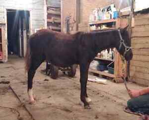 Flashy black  reg welsh x 7 month old colt  London Ontario image 3