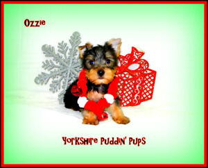 BLACK FRIDAY DEAL! Purebred Yorkie ( Yorkshire Terrier) Puppies!