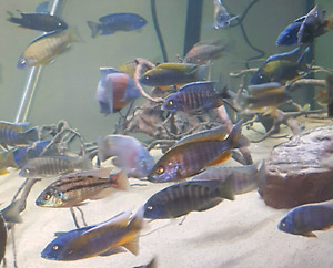 Africans, americans, plecos and lots more