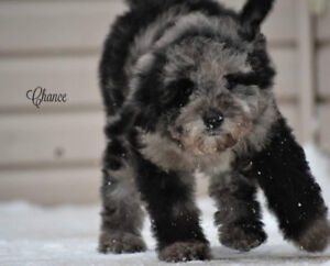 Miniature poodle 12-18 pounds full grown