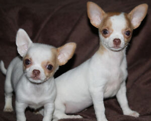 Short Haired Male & Female Chihuahua