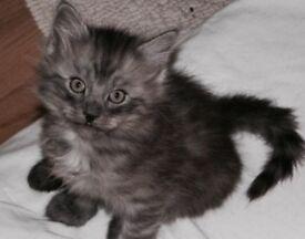 Silver fluffy kittens