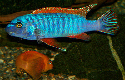 Four Fish Colony Labeotropheus trewavasae West Thumbi Island 1.5 in Cichlid