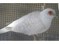 DIAMOND DOVES £10 Each or 4 birds for £30!!!