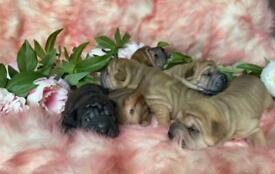 Shar-pei puppies, with pedigree