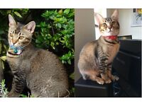 Two missing Burmese/Bengal kittens - REWARD IF FOUND