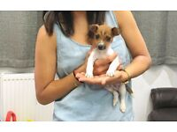 Lucky - Cute 12 Week Jack Russell Terrier Puppy