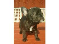 Fabulous Female Kc Reg French Bulldog