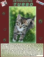 "Baby Male Cat - Domestic Short Hair-Tabby: ""Turbo"""