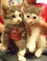 "Baby Male Cat - Domestic Medium Hair: ""Randy & Ramsey"""