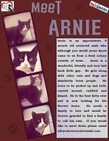 """Young Male Cat - Domestic Short Hair: """"Arnie"""""""