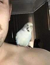 I've LOST my BUDGIE Darwin CBD Darwin City Preview