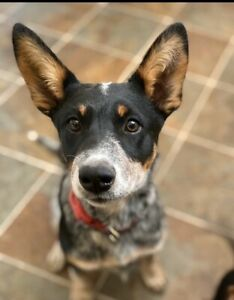 Australian Cattle Dog ~ Blue Heeler