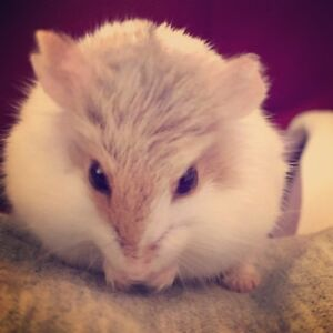 Looking for a female hamster