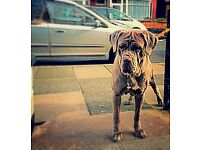 !!!Neapolitan mastiff pups!!!