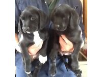 EXCEPTIONAL SPRINGERDOR PUPPIES, READY NOW, PERFECT FAMILY DOGS