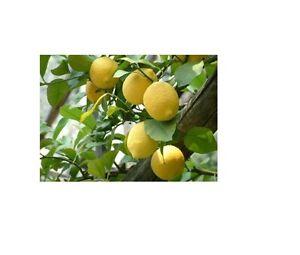 Pianta piante di limone nano 4 stagioni della sicilia c for Bonsai limone vendita