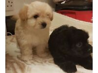 Boy and girl yorkiepoo puppies for sale.