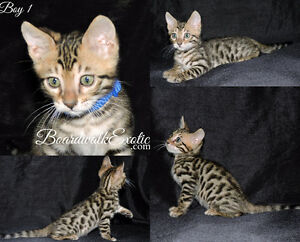 Bengal Kitten TICA Registered