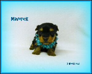 Beautiful Purebred Yorkshire Terrier Pups Available!! Yorkie