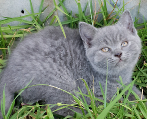 Scottish fold/shorthair blue boy