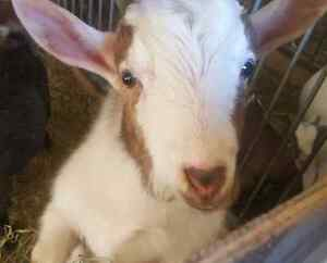 Pet goat eddy is looking for a forever home
