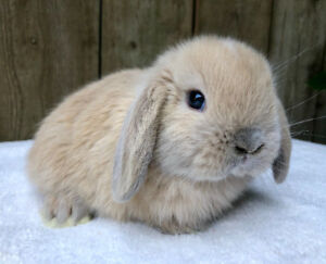 Cute Baby Holland Lop Bunny
