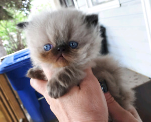 2 female Himalayan kitten left  ready to go