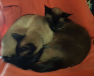Missing Male Seal Point Siamese
