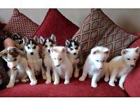 KC Registered Siberian Husky puppies for sale (4 boys 2 girls)
