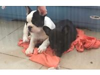 French Bulldog Stuning Boy White and a girl black .Only 2left !