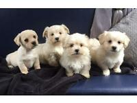 Shih-tzu x Westie Puppies.