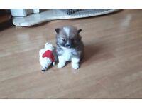 Stunning pomeranian puppie
