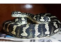Jungle carpet pythons