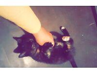 10 week old female kitten for sale