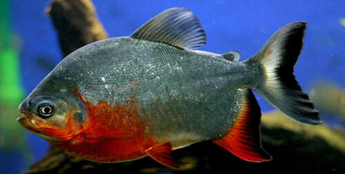 Red Belly Pacu 3 inches