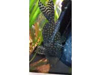 Synodontis Angelicus (Polka Dot/Angel catfish)