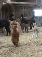 DUAL REG FEMALE ALPACAS FOR SALE -ONLY $650 EACH