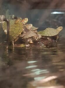 Baby red eared sliders