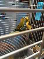 2 young budgies