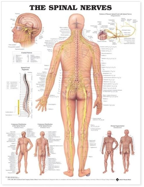 THE SPINAL NERVES POSTER (66x51cm) ANATOMICAL CHART NEW EDUCATIONAL