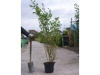 Lagustrum shrubs hedgerow