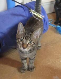 "Young Male Cat - Domestic Short Hair-Tabby - Grey: ""Brodie"""