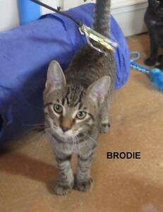 Young Male  - Domestic Short Hair-Tabby - Grey