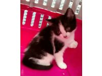 Lovely Male kitten