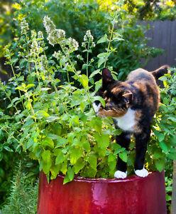 1 X 9cm  Plant ~ Nepeta Cataria - Cat Mint - Catnip- Best Variety