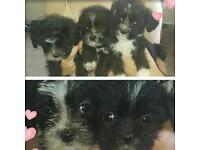 3/4 Lhasa Apso 1/4 Bichon Puppies